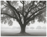 Buy Silhouette Oak at AllPosters.com