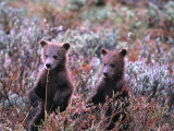 Two Grizzly Cubs (Ursus Arctos), Denali National Park & Preserve, Alaska, USA