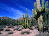 Saguaro Forest, Organ Pipe Cactus National Monument in the Sonoran Desert, Arizona, USA