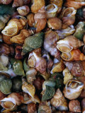 Whelks on Sale at a Seafood Market, Treguier, Brittany, France