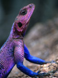 Flat-Headed Rock Agama (Agama Mwanzae), Serengeti National Park, Arusha, Tanzania