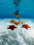 Buy Snorkeller Looking at Cusion Sea Stars Near Marsh Harbour, Marsh Harbour, Bahamas at AllPosters.com