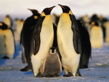 Emperor Penguins with Chick, Dawson-Lambton Glacier, Weddell Sea, Antarctica