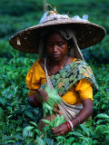 Tea Plucker Picks Leaves from Bush to Make Assam Tea, Guwahati, Assam, India