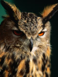 Eurasian Eagle-Owl (Strigidae Sp.), United States of America