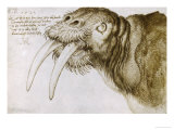 Walrus, Pen and Ink on Paper, 1521