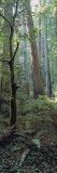 Buy Tree Trunks, Redwood State Park, Humboldt County, California, USA at AllPosters.com