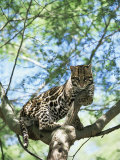 Ocelot in Tree