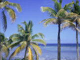 Coconut Palms on Beach, Tropical Island of Belize, Summer 1997