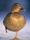 Mallard Female Duck Standing on One Leg on Ice, Highlands, Scotland, UK