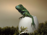 Baby Iguana Placed in a Goose Egg, (Iguana Iguana)