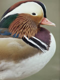 Mandarin Duck, Close up of Male Head, USA