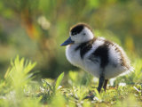 Shelduck Duckling, Belgium, Europe