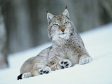 European Lynx in Snow, Norway