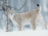 European Lynx in Birch Forest in Snow, Norway