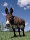 Domestic Donkey, Wisconsin, USA