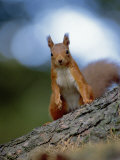 Red Squirrel on Tree Trunk, Scotland