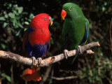 Eclectus Parrots: Male (Right) and Female (Left)
