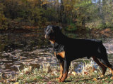 Rottweiler Dog, Illinois, USA