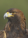 Golden Eagle (Aquila Chrysaetos) Adult Portrait, Cairngorms National Park, Scotland, UK