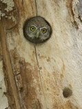 Northern Pygmy Owl, Adult Looking out of Nest Hole in Sycamore Tree, Arizona, USA