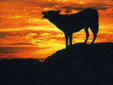 Grey Wolf, Howling at Sunset