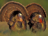Wild Turkey Males Displaying, Texas, USA
