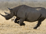 Black Rhinoceros, Running, Namibia