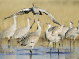Sandhill Cranes Displaying, Bosque Del Apache National Park, NM, USA