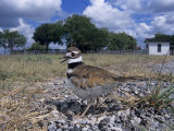 Killdeer Plover, Shading Eggs on Nest from the Sun, Welder Wildlife Refuge, Sinton, Texas, USA