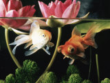 Buy Two Goldfish (Carassius Auratus) with Waterlilies, UK at AllPosters.com
