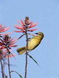 Hooded Oriole Female at Flower, Texas, USA