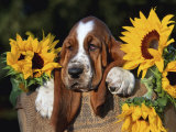 Bassett Hound Pup with Sunflowers