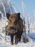 Wild Boar in Winter (Sus Scrofa), Europe