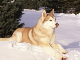 Siberian Husky Resting in Snow, USA