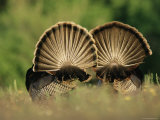 Rear View of Male Wild Turkey Tail Feathers During Display, Texas, USA