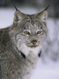 Lynx Portrait, USA