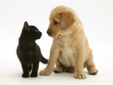 Black Domestic Kitten (Felis Catus) and Labrador Puppy (Canis Familiaris) Looking at Each Other Premium Poster
