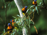 Red Collared Rainbow Lorikeets Flock in Tree, Western Australia
