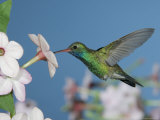 Broad Billed Hummingbird, Male Feeding on Nicotiana Flower, Arizona, USA