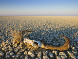 Animal Skull on Cracked Earth, Dry Landscape, Namibia
