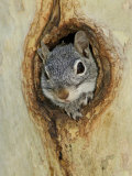 Arizona Grey Squirrel, Ilooking out of Hole in Sycamore Tree, Arizona, USA
