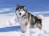 Alaskan Malamute Dog, in Snow, USA