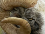 Close-Up of Gotland Sheep, Ram's Horn, Sweden