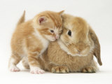 Domestic Kitten (Felis Catus) Next to Bunny, Domestic Rabbit