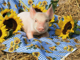 Domestic Piglet and Sunflowers, USA