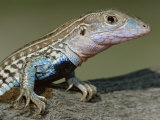 Texas Spotted Whiptail Lizard, Male, Texas, USA