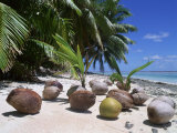 Coconut Palm Seedlings (Cocos Nucifera) on Tropical Beach, Seychelles