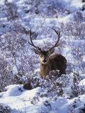 Red Deer Stag, Amongst Snow-Covered Birch Regeneration, Scotland, UK