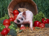 Domestic Piglet, Amongst Vegetables, USA